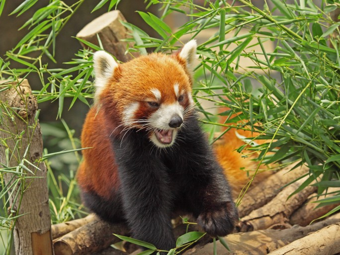 Panda roux Firefox © Cozyta - Fotolia.com
