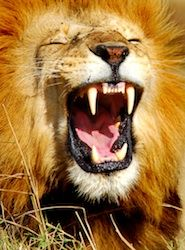 lion - © Alan Ward - Fotolia.com